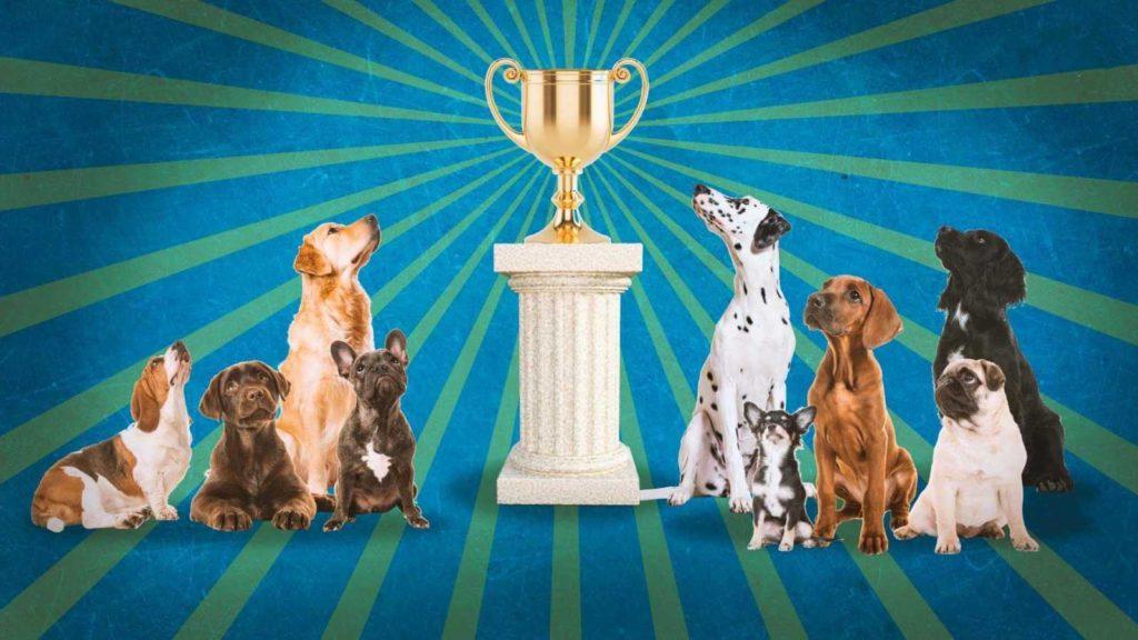 Какие бывают титулы и регалии на выставках и конкурсах собак