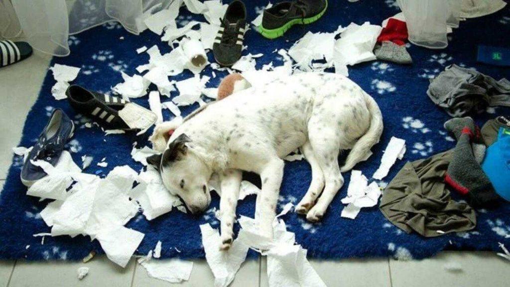 Что делать, если моя собака грызет любимые вещи