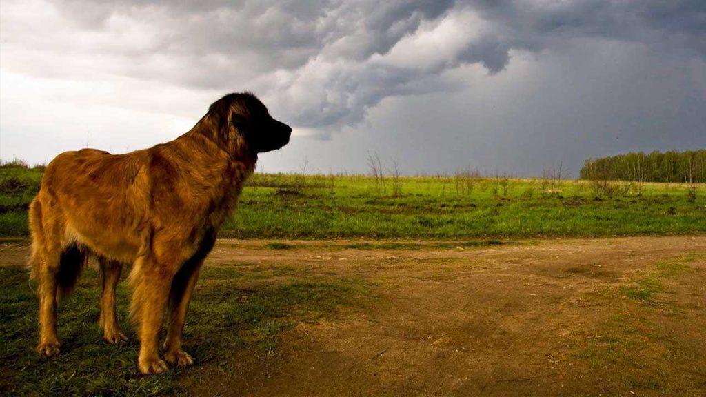 Почему собаки бояться грома? Советы как успокоить питомца