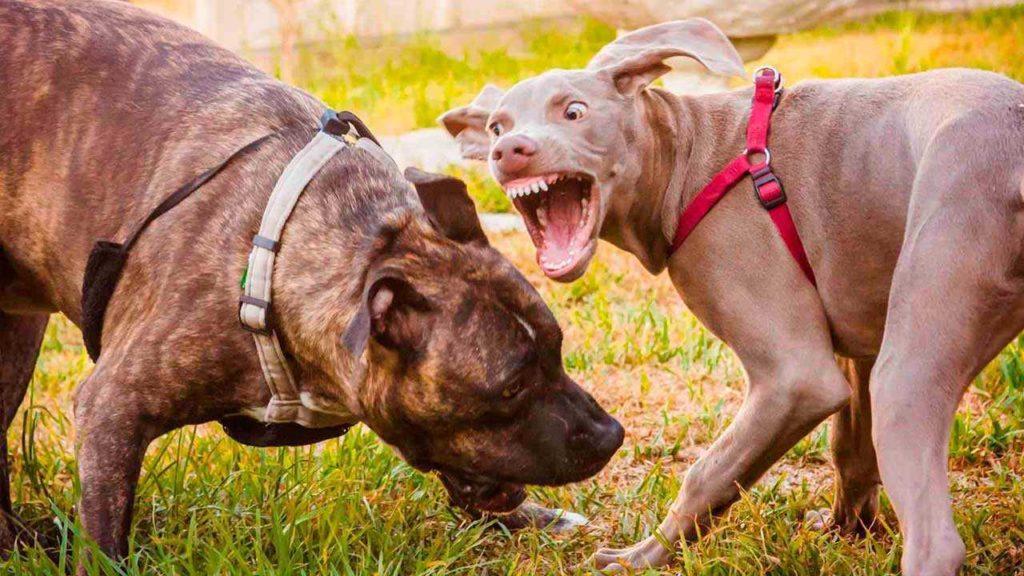 Что делать, если моя собака проявляет агрессию к другим собакам